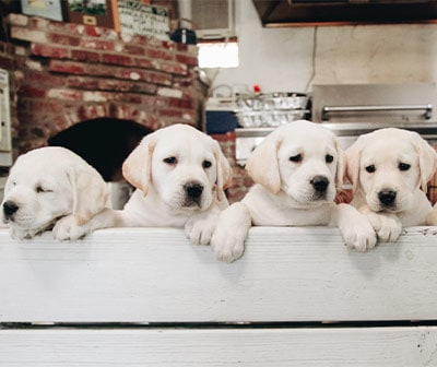 Service Dog Selection